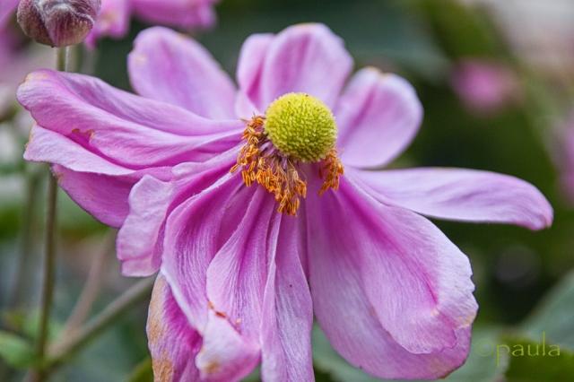 cvijet rozi