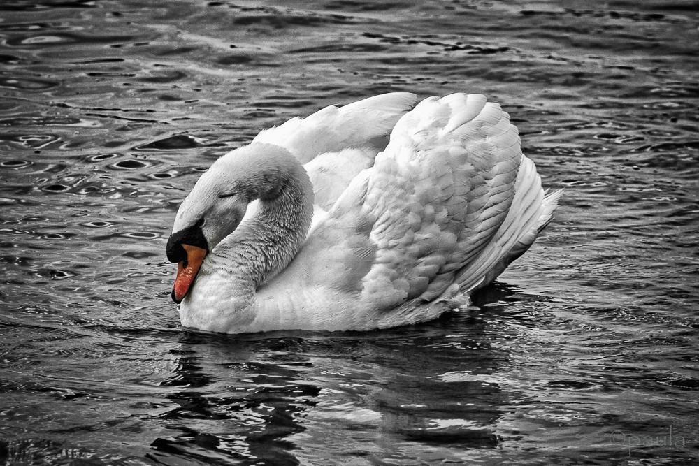 swan_red beak