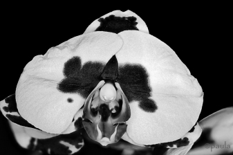 orchid_b&w
