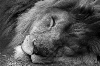 sleeping lion_b&w