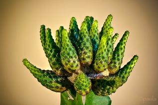 kaktus_foc stack-anal