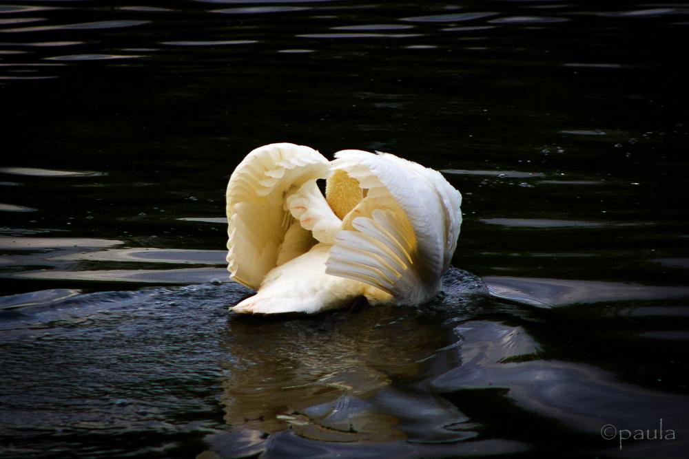 swan HP