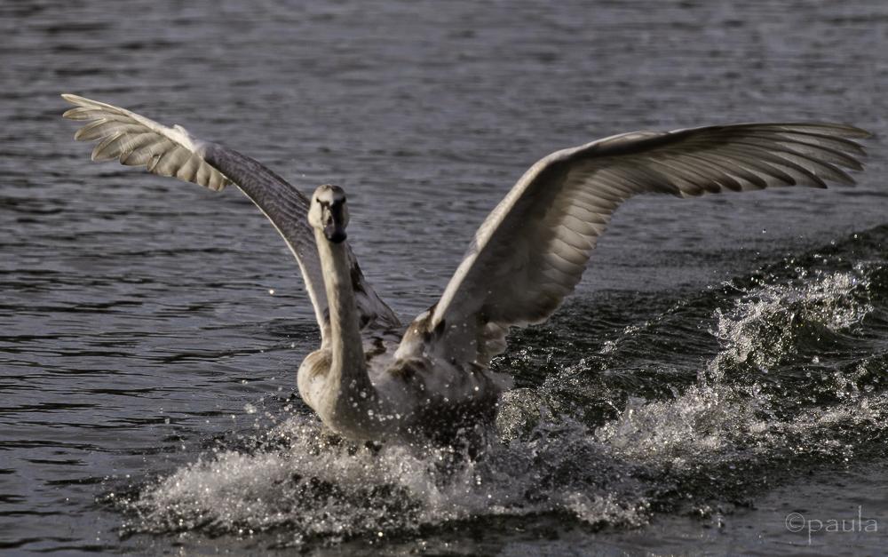 labud krila novi