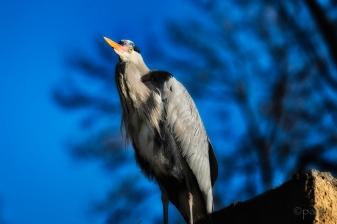 grey heron on roof_darker