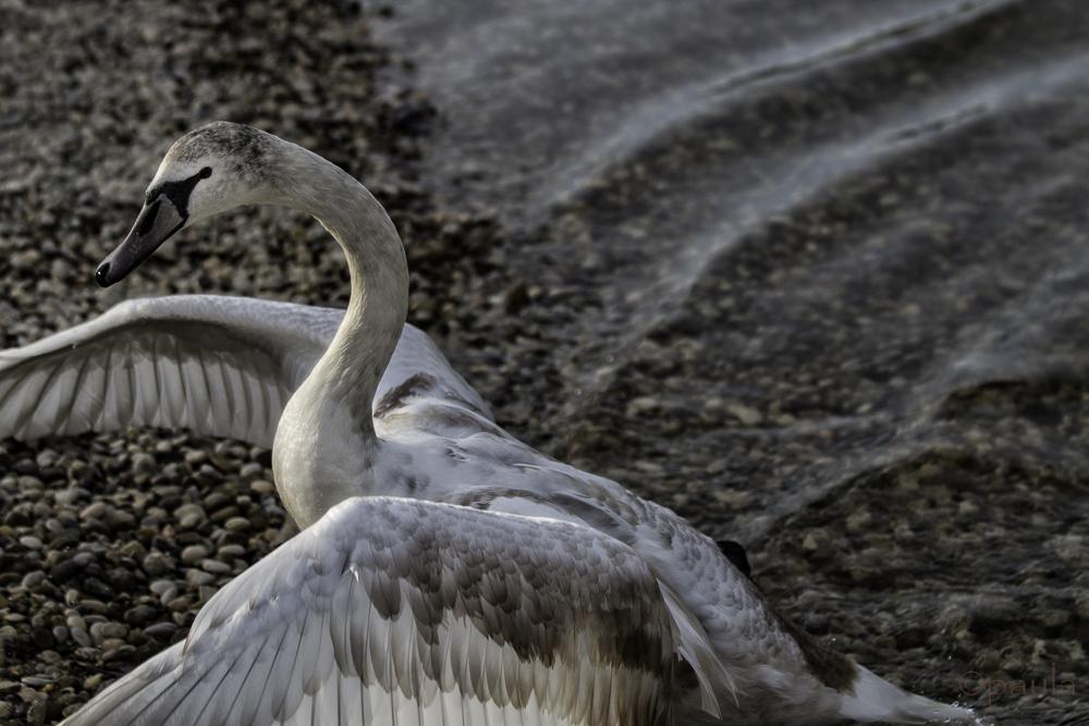 diagonal swan