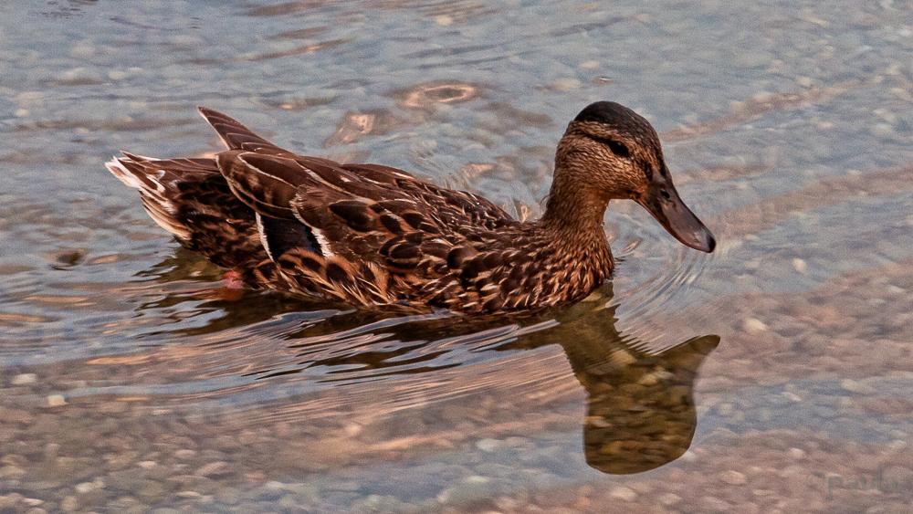 duck_piano