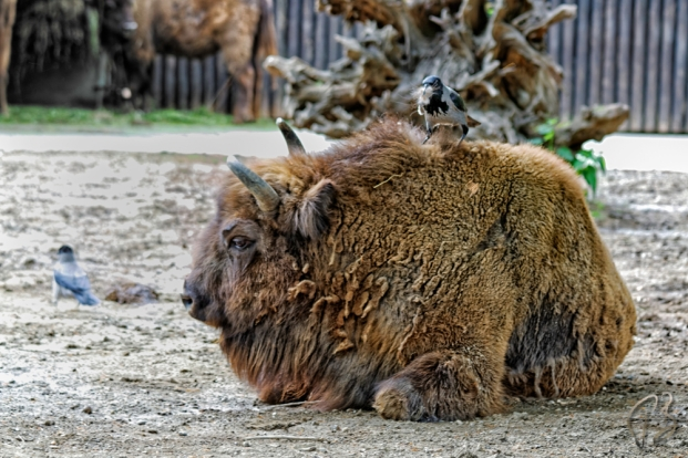 bizon_vrana_potpis