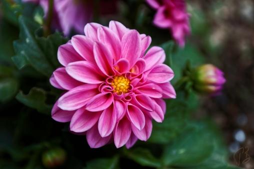 maksimir_cvijet_potpis