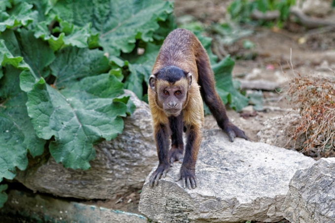 Capuchin: I am not scared of you, fatso!